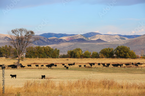 Fototapete Cattle Feeding in Field in Wyoming with Mountain Background