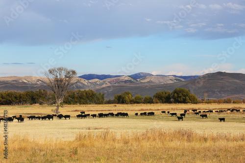 Cattle Feeding in Field in Wyoming