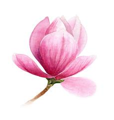 pink flower of magnolia or tulip tree, romantic botanical illustration for wedding, invitation, postcard, valentine's day design