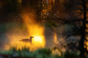 Red throated Loon in dawn