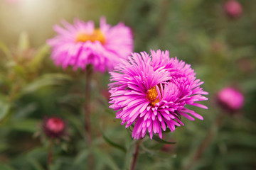 Aster alpinus (Alpine aster) in the late autumn garden