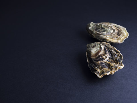 Utah oysters isolated on dark background