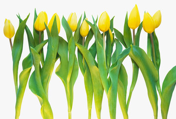 yellow tulips isolated on white sping season