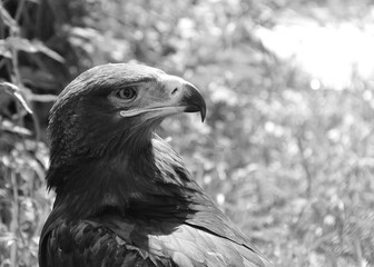 an european eagle in zoo. black and white. Concept of freedom, prison, will, imprisonment