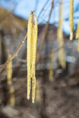 Hazelnut catkins hanging from the tree
