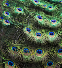 background of a colourful peacock's tail shimmers