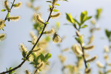 a small white butterfly sitting on a yellow furry buds of the pussy willow