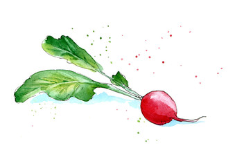 Garden radishes. Image of a vegetables. Watercolor hand drawn illustration. White background.