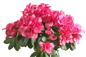 Blooming pink azalea