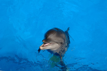 Happy dolphin smiling opened his mouth showing his teeth with his eyes open, prepares for a jump