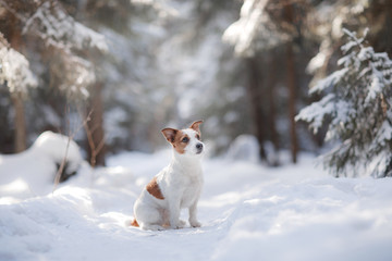 Active and beautiful dog breed jack russel terrier outdoors