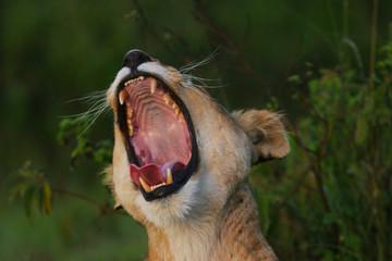 lioness roar