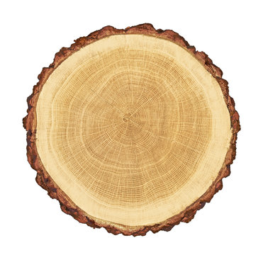 smooth cross section brown tree stump slice with age rings cut fresh from the forest with wood grain isolated on white