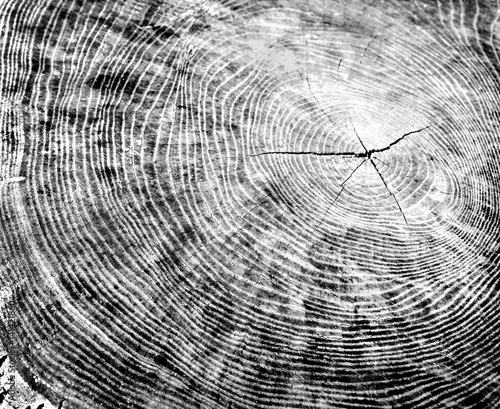 Black and white piece of wood with tree rings  Tree stump