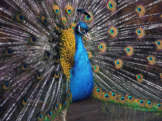 Peacock shows cute opened tail close-up