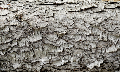 Pine tree bark with gray neutral tones and rough surface. Sustainable material outside in nature