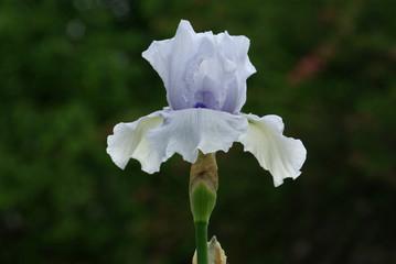 Iris bleu clair et blanc au jardin au printemps