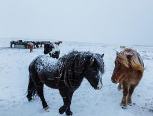 Cute icelandic horses in snowy weather