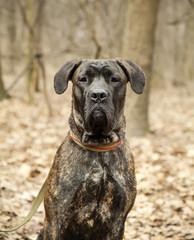 Cane Corso dog portrait close up