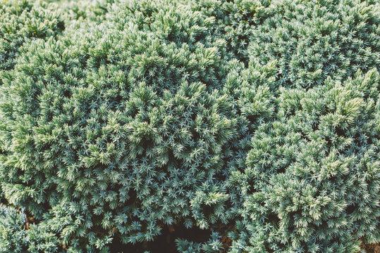 Mediterranean Cypress foliage and cones
