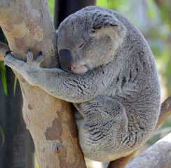 The koala bear is an arboreal herbivorous marsupial native to Australia. It is the only extant representative of the family Phascolarctidae and its closest living relatives are the wombats.