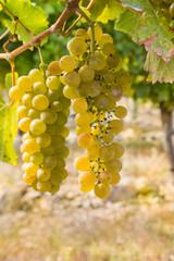 bunch of ripe Chardonnay grapes in vineyard
