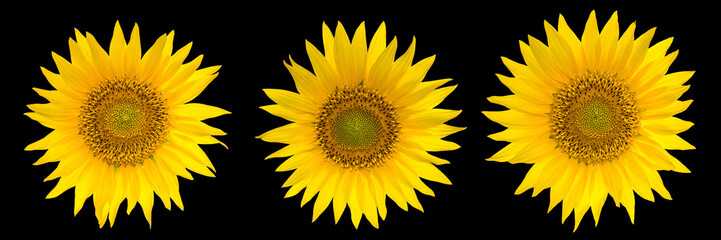 Sunflowers collection isolated on the black background.