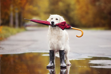 dog in rain boots holding an umbrella outdoors in autumn