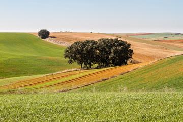 Campos sembrados de cereal y encinas. Comarca de Los Oteros, León, España.