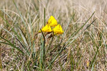 Campanillas, Narcisos acampanados. Narcissus bulbocodium.
