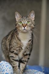 Gray tabby cat at home