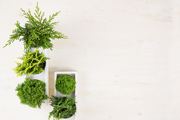 Minimalistic interior workplace with green young conifer plants in white box top view on beige wood board background. Blank copy space.