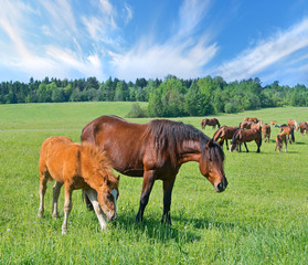 Wall Mural - Mare with foal on pasture front of herd, summer landscape.