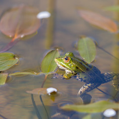 portrait of green frog (Rana esculenta) sitting in water with leaves