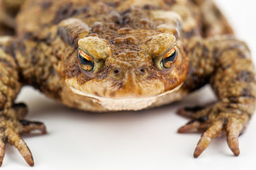 live toad on white