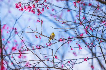 The bird japanese white-eye and Cherry blossoms