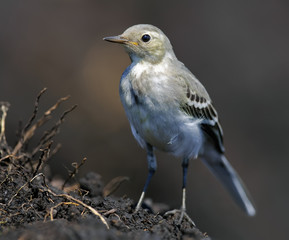 Young White Wagtail perched on a soil lump amidst plowed field