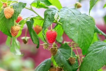 Ripe berry raspberry on the branch