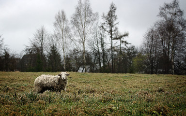 Dirty evil sheep on grass
