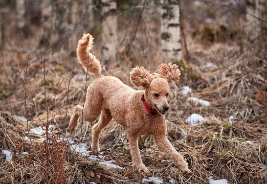 Standard poodle running on icy forest path in springtime