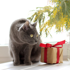 spring festive greeting/ Cat on the background of a gift and a bouquet of blooming mimosa