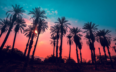 Row of tropic palm trees against sunset sky. Gradient color. Silhouette of deep palm trees. Tropic evening landscape. Diagonal purple pink gradient color. Beautiful tropic nature