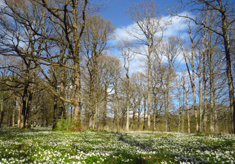 Forest with wood anemones at the Jomfruland Island, Norway