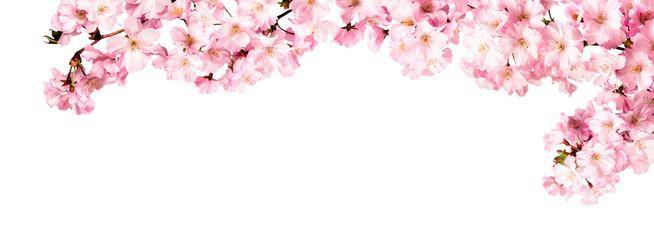 Kirschblüten als Panorama Hintergrund