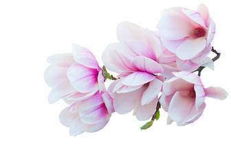 Tulip Magnolia pink flowers spring blossom twig isolated on white background