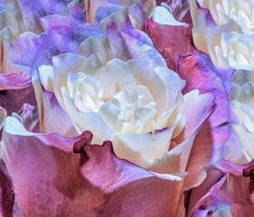 Fine art still life pastel colored yellow red pink violet floral rose petal pattern for background,desktop,decor,textile