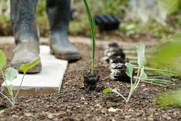 Leek seedlings lying on freshly ploughed garden bed