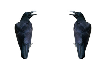 Two black crows isolated on white background. Copy space.