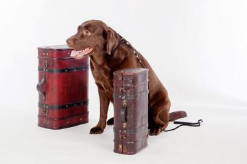 Dog labrador guards suitcases