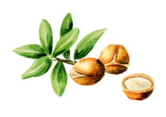 Argan nuts, can be used as a design element for the decoration of cosmetic or food products using argan oil. Hand-drawn watercolor sketch